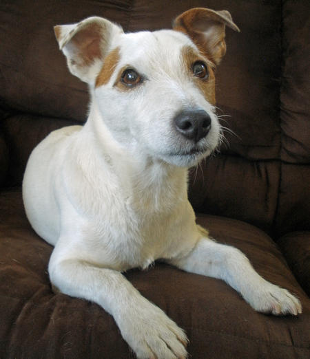 Obie the Jack Russell Terrier Pictures 856156