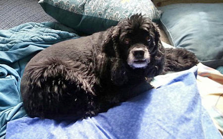 Odie the Cocker Spaniel Pictures 1025861