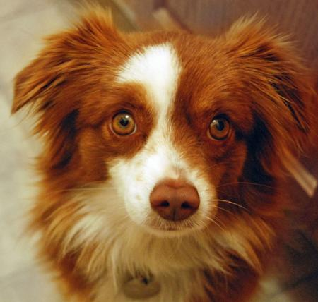 Okii the Australian Shepherd Pictures 672033