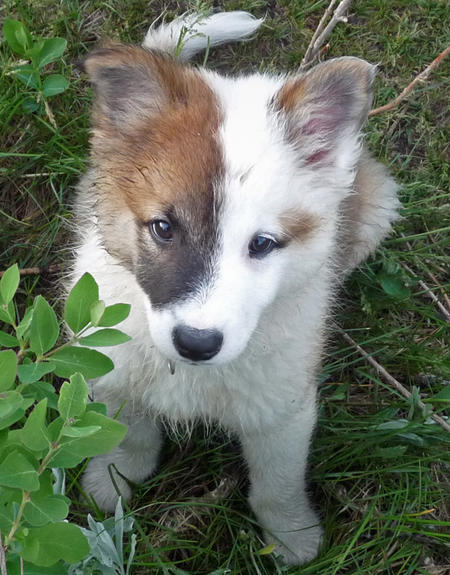 Ole the Icelandic Sheepdog Pictures 479367
