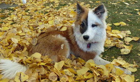 Ole the Icelandic Sheepdog Pictures 479368