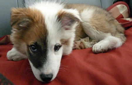 Ole the Icelandic Sheepdog Pictures 479370