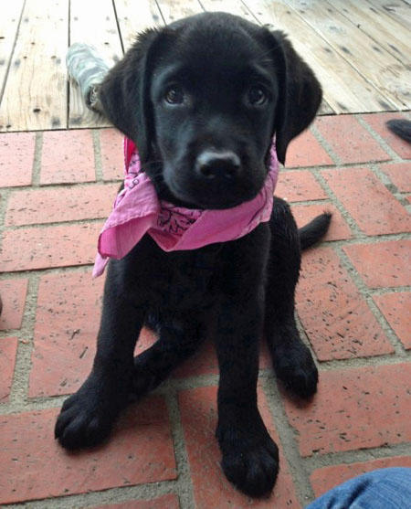 Olive the Labrador Retriever Pictures 1047764