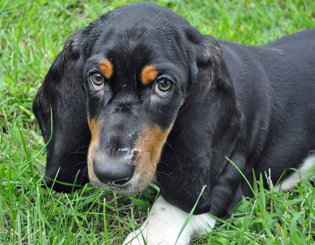Oliver the Basset Hound Pictures 840865