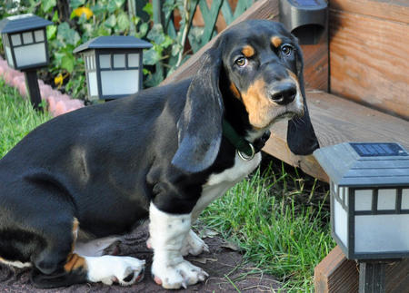 Oliver the Basset Hound Pictures 840868