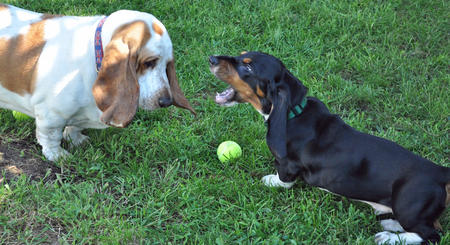 Oliver the Basset Hound Pictures 840869