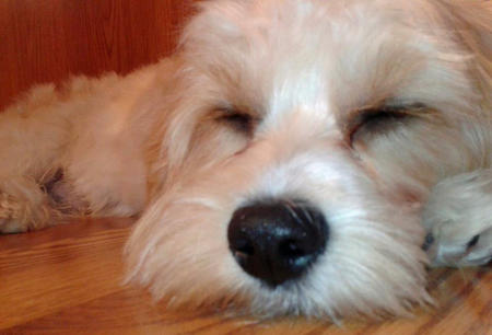 Oliver the Bichon Frise Mix Pictures 667765