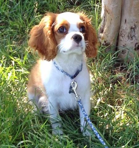 Oliver the Cavalier King Charles Spaniel Pictures 976038
