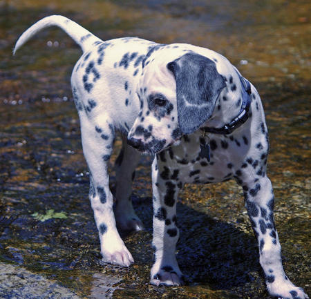 Oliver the Dalmatian Pictures 979533