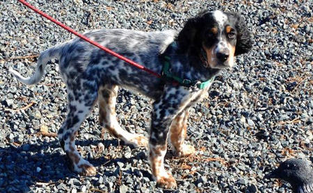 Oliver the English Setter Pictures 963859