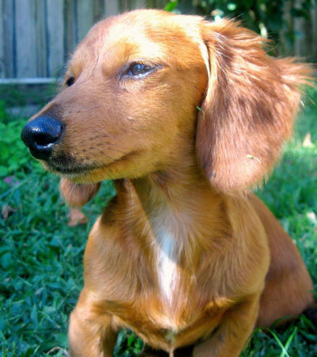 Olivia the Dachshund Pictures 856645