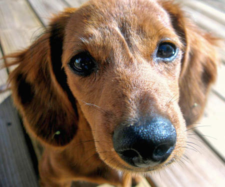 Olivia the Dachshund Pictures 856644