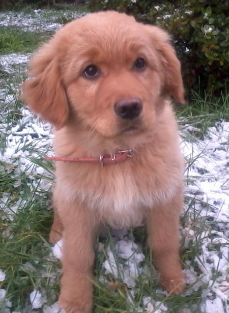 Olivia the Golden Retriever Pictures 948374