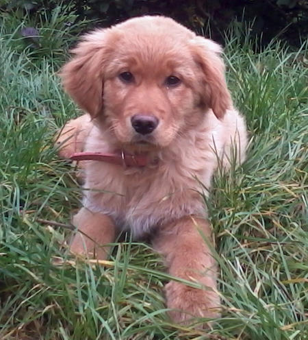 Olivia the Golden Retriever Pictures 948377