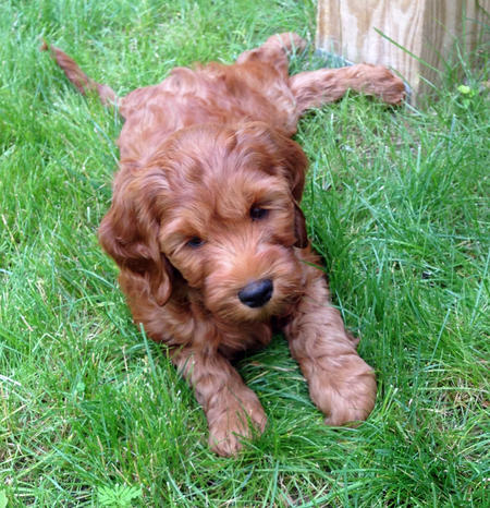 Ollie the Australian Labradoodle Pictures 1025690