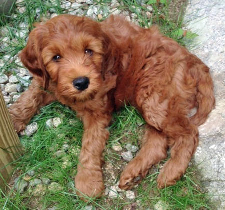Ollie the Australian Labradoodle Pictures 1025693