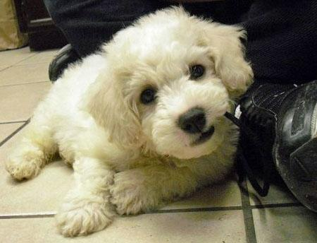 Ollie the Bichon Frise Pictures 650582