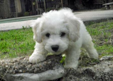 Ollie the Bichon Frise Pictures 650583