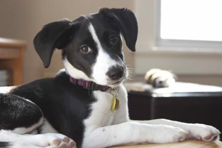Ollie the Border Collie Mix Pictures 868489
