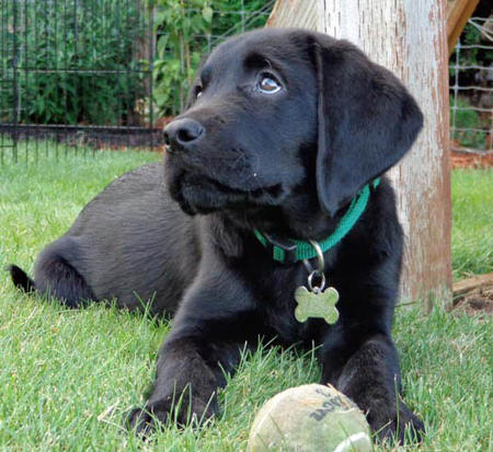 Ollie the Labrador Retriever Pictures 978727
