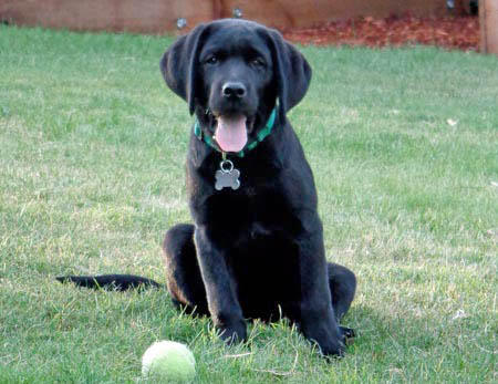 Ollie the Labrador Retriever Pictures 978728