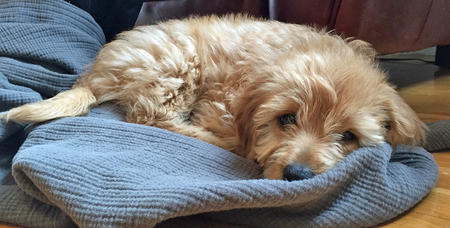 Ollie the Mini Goldendoodle Pictures 1040885