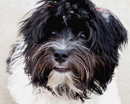 Oreo the Havanese Pictures 900371
