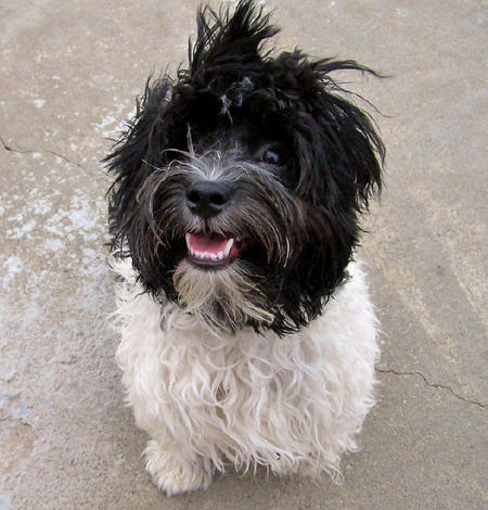 Oreo the Havanese Pictures 900372