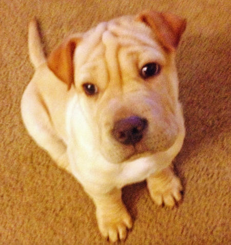 Osito the Shar Pei Mix Pictures 1030137