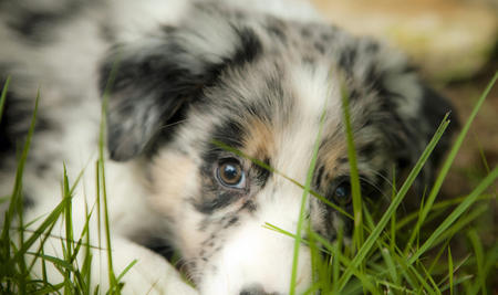 Oso the Australian Shepherd Pictures 642083