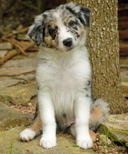 Oso the Australian Shepherd Pictures 642087