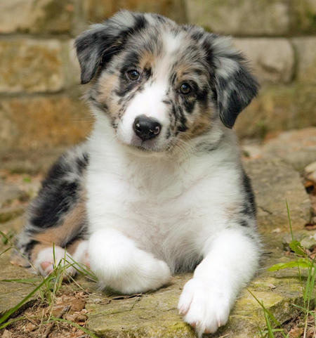 Oso the Australian Shepherd Pictures 642082