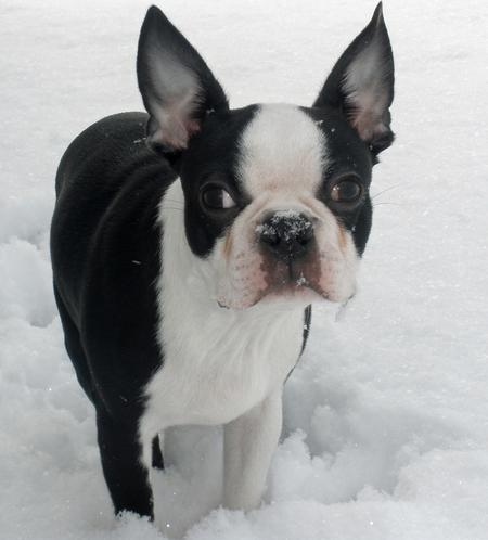 Otis the Boston Terrier Pictures 509027