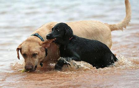 Otis the Labrador Retriever Pictures 756504