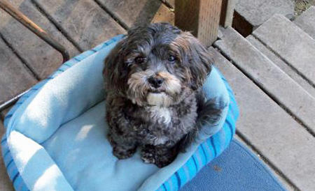 Otis the Shih Tzu Mix Pictures 962458