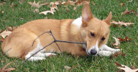 Owen the Pembroke Welsh Corgi Pictures 499182