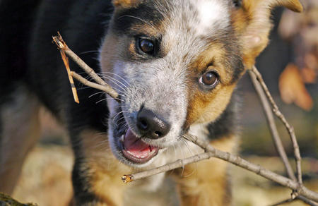 Ozzie the Cattle Dog Mix Pictures 882465