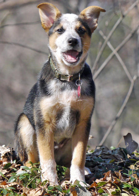 Ozzie the Cattle Dog Mix Pictures 882466