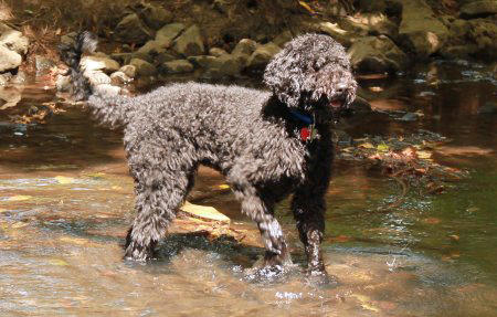 Padfoot the Goldendoodle Pictures 950037