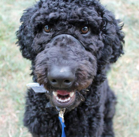 Padfoot the Goldendoodle Pictures 950038