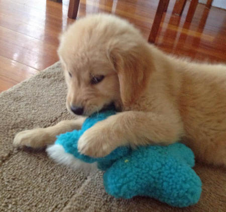 Paisley the Golden Retriever Pictures 971629