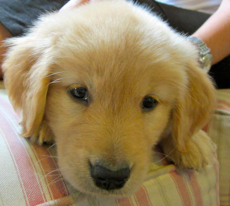 Paisley the Golden Retriever Pictures 971624