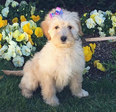 Paisley the Goldendoodle Pictures 1055185