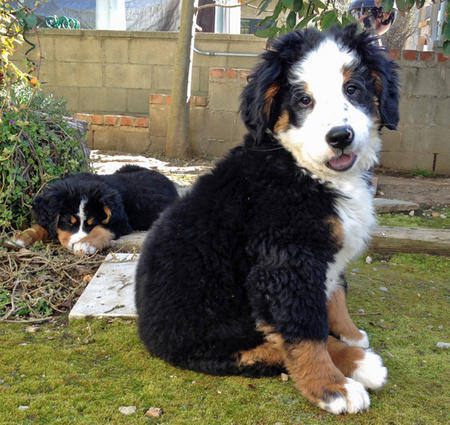 Panda and Lucy the Bernese Mountain Dogs Pictures 1007186