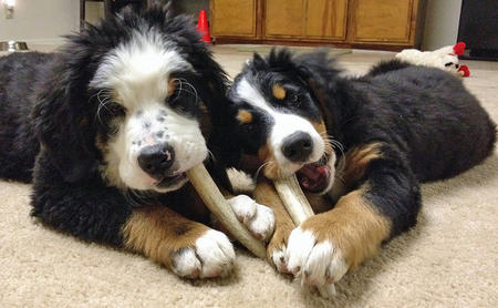 Panda and Lucy the Bernese Mountain Dogs Pictures 1007187