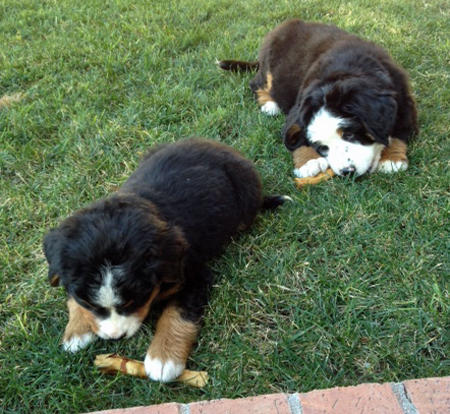 Panda and Lucy the Bernese Mountain Dogs Pictures 1007189