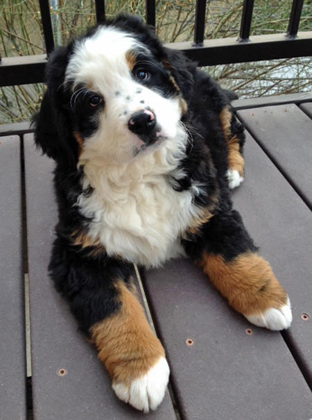 Panda and Lucy the Bernese Mountain Dogs Pictures 1007190