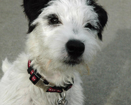 Panda the Jack Russell Terrier  Pictures 866173