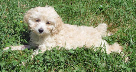 Paolo the Cocker Spaniel Mix Pictures 1031870