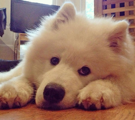 Parka the Samoyed Pictures 1017464
